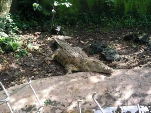 crocodile or aligator
